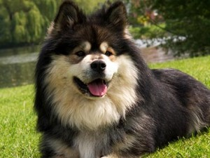 dogs-that-looks-like-wolves-the-most