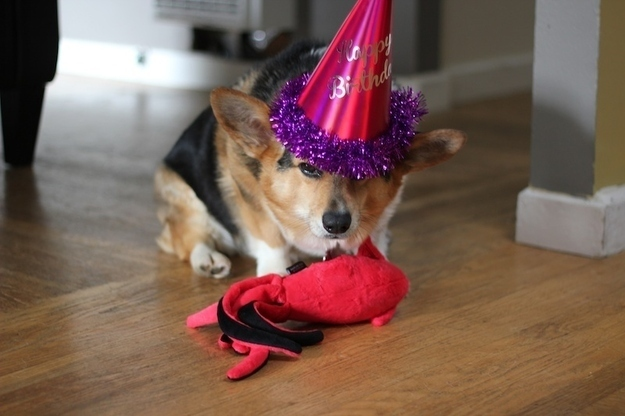 embarrassedcorgi