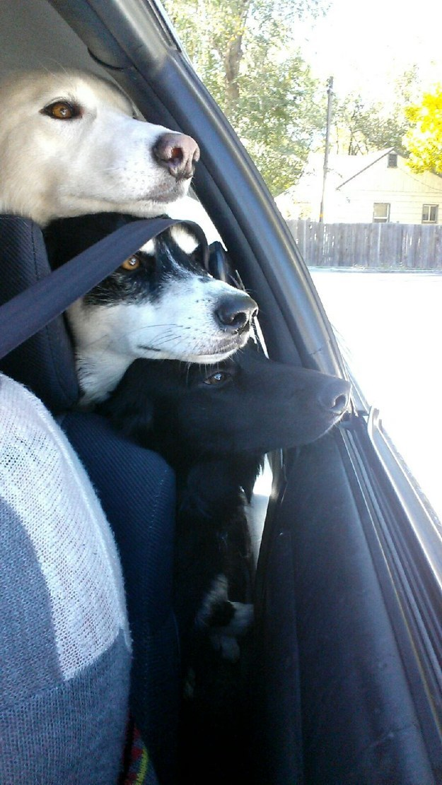 They can love car rides. And these dogs clearly all LOVE car rides.