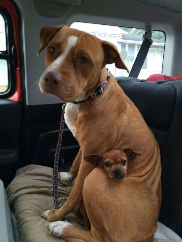 And sometimes they show it by protecting one another, like this pit bull and chihuahua that were adopted together.