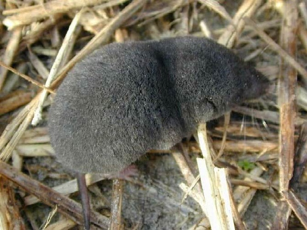 Nelson's Small-Eared Shrew