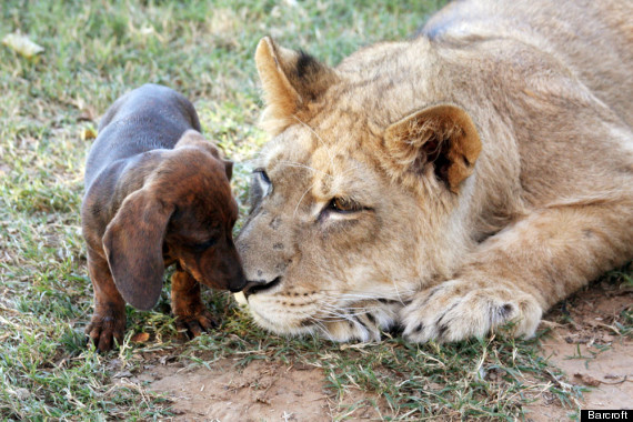 A dachsund takes care of a disabled lion
