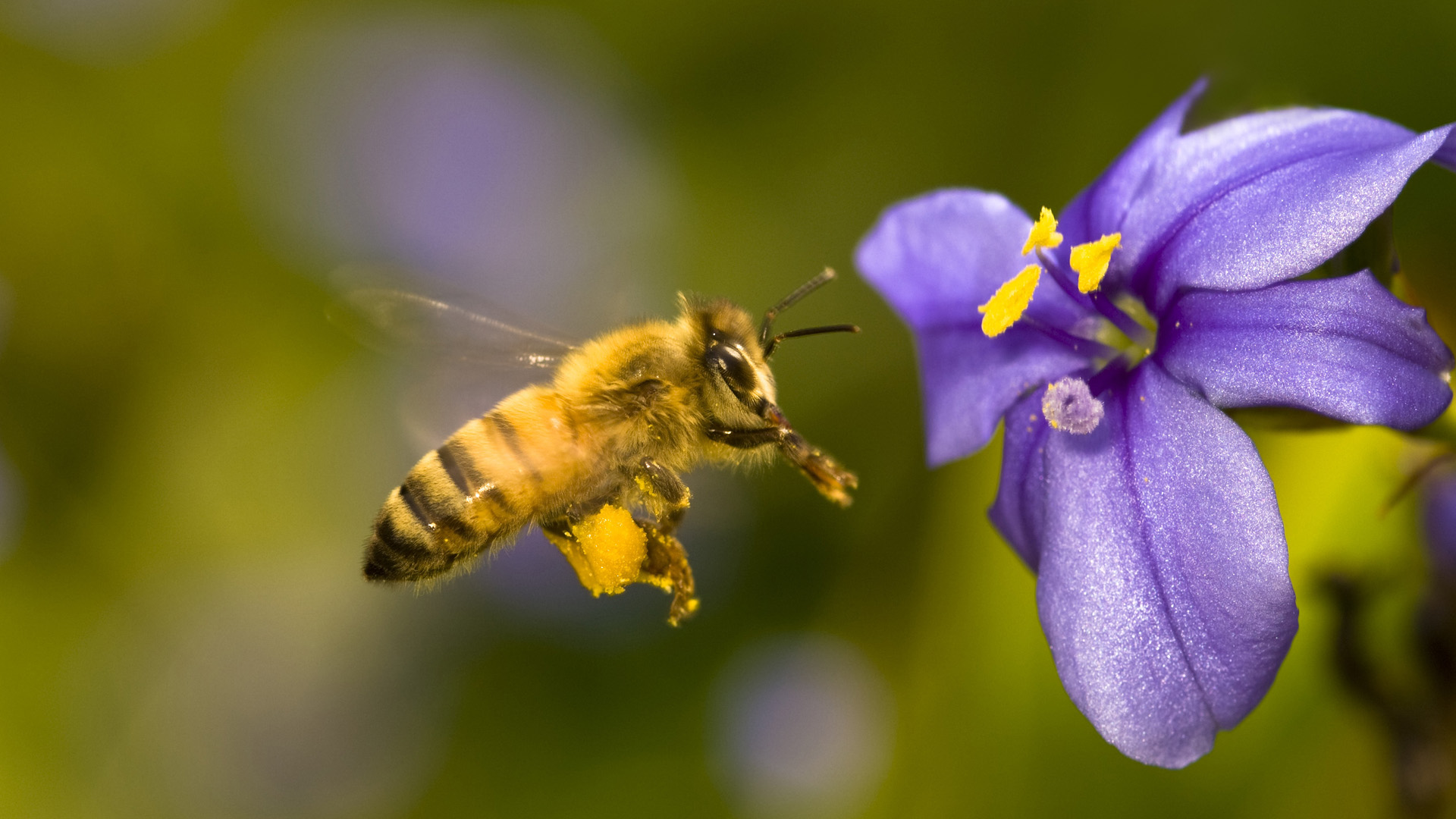 Honey bee hovering near blue-eyed grass flower