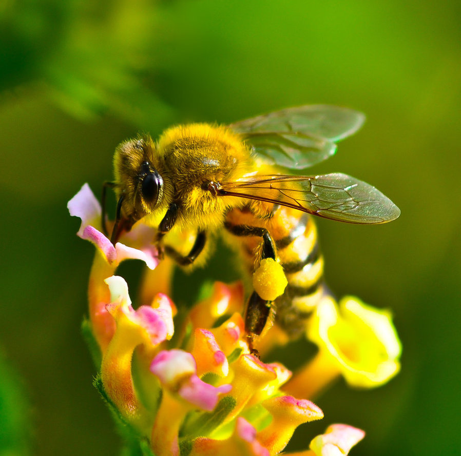 honeybee_06_by_wings_of_light-d3fhfg1