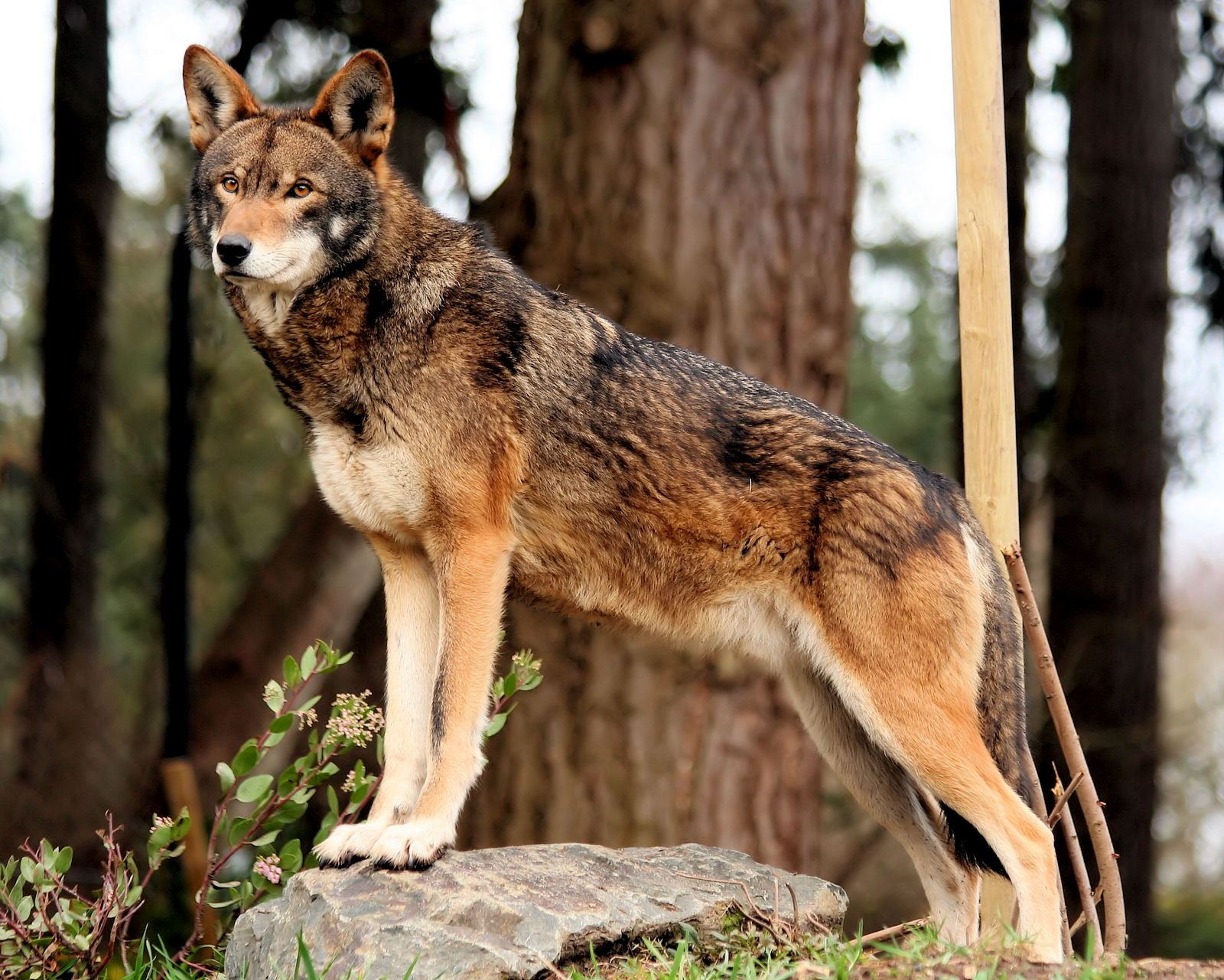Wolves: types of wolves, description, lifestyle, photo 66