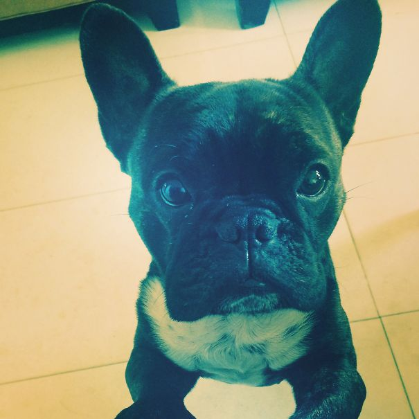 Boss The Frenchie Asking For Cuddles :p