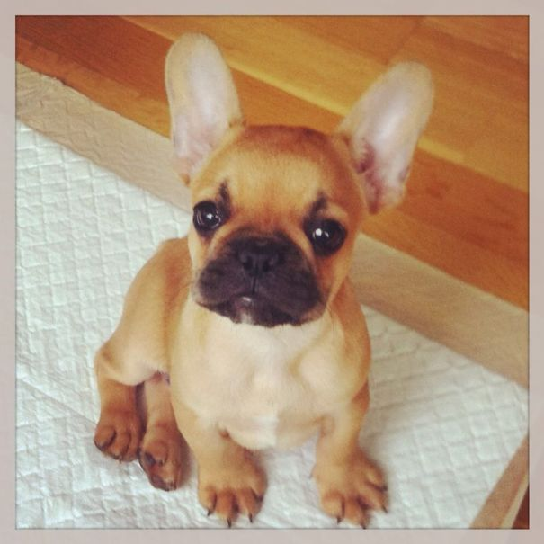 Nelson The Frenchie