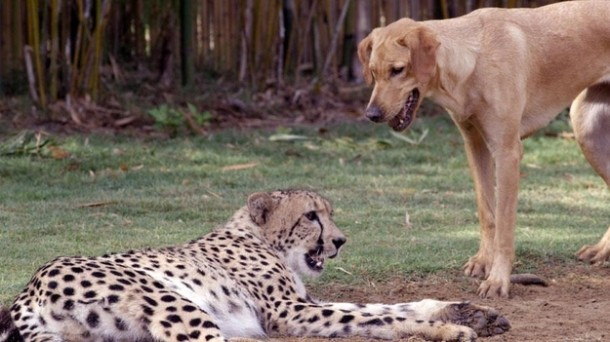 A cheetah and dog are best friends