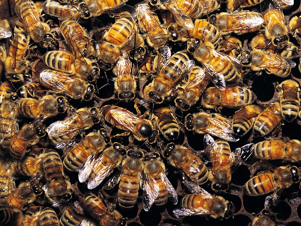 many-honeybees_1024x768_3589