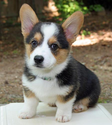 miles-the-pembroke-welsh-corgi_65744_2012-05-08_w450