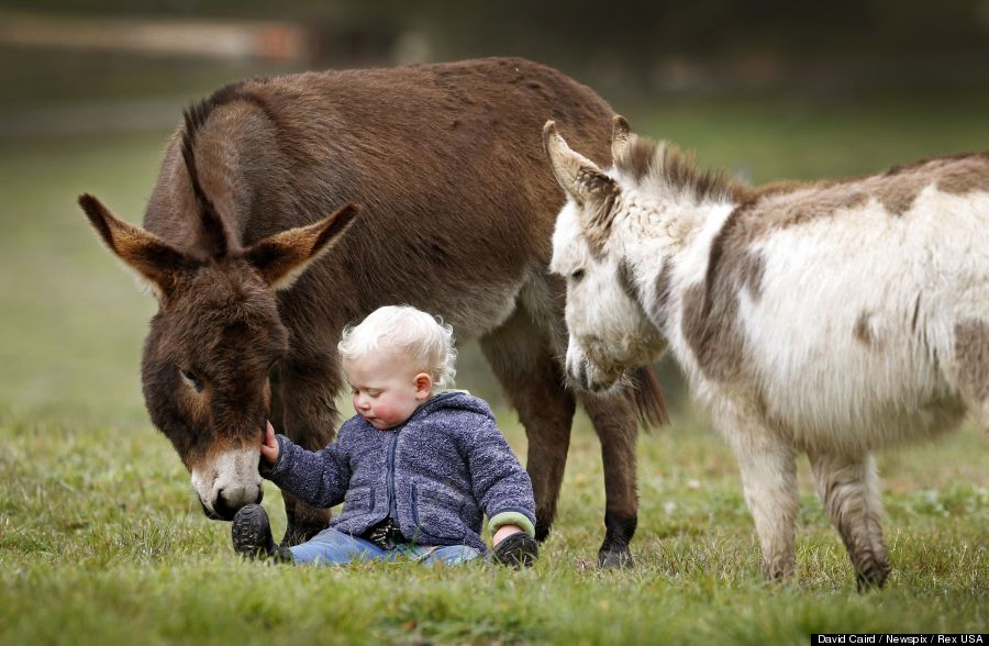 "Editorial Use Only.Consent Required for Commercial Use and Book Publications Mandatory Credit: Photo by David Caird/Newspix/Rex / Rex USA (1464647i) 15-month-old Jack Johnston plays with micro miniature donkeys called 'Snuggle Pot' and 'Livingstone' at Amelia Rise Donkeys Micro miniature donkeys in Yea, Australia - 09 Jul 2013 These miniature donkeys are so cute it's no surprise to learn that their names include Snuggle Pot and Cuddle Pie! The adorable donkeys stand less than 76cm tall and live at the Amelia Rise Donkeys centre in Yea, Australia. And they are certainly a huge hit with the children of the local area, including 15-month-old neighbour Jack Johnson who loves to share a cuddle with Cuddle Pie. According to breeder Deb Hanton the mini donkeys are fast gaining a reputation as being lovable pets. She says: ""They are always by your side and they love being cuddled. It is really like they are little labradors""."