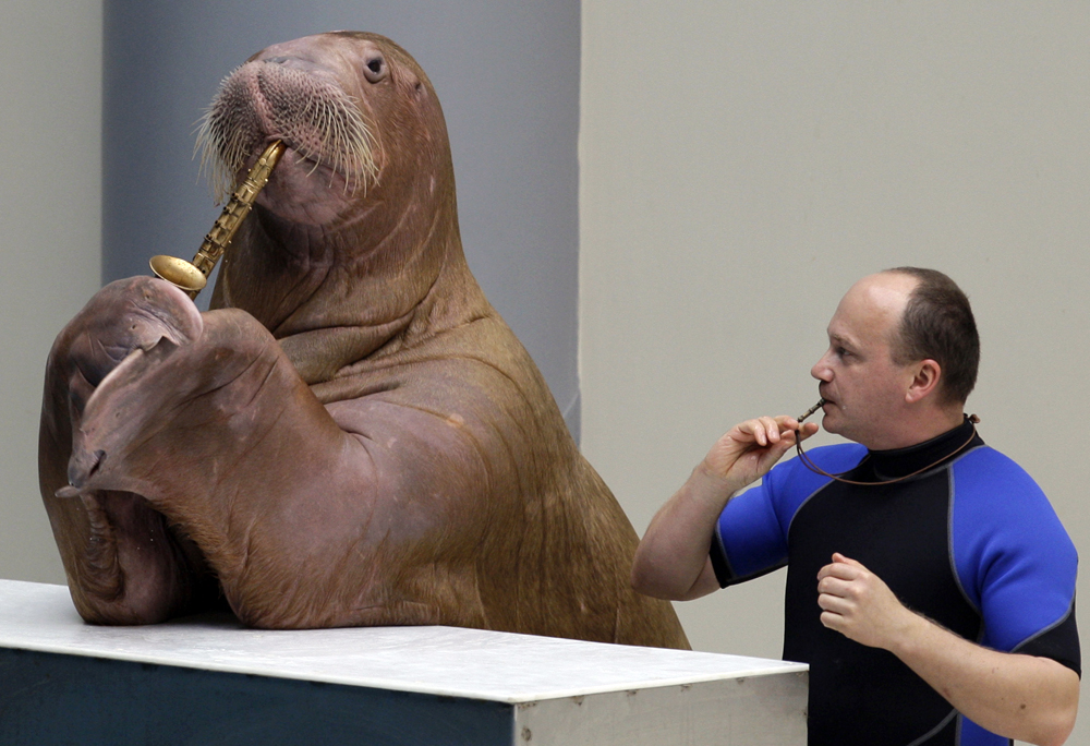 Bashful Walrus Gets A Birthday Surprise Wow Amazing