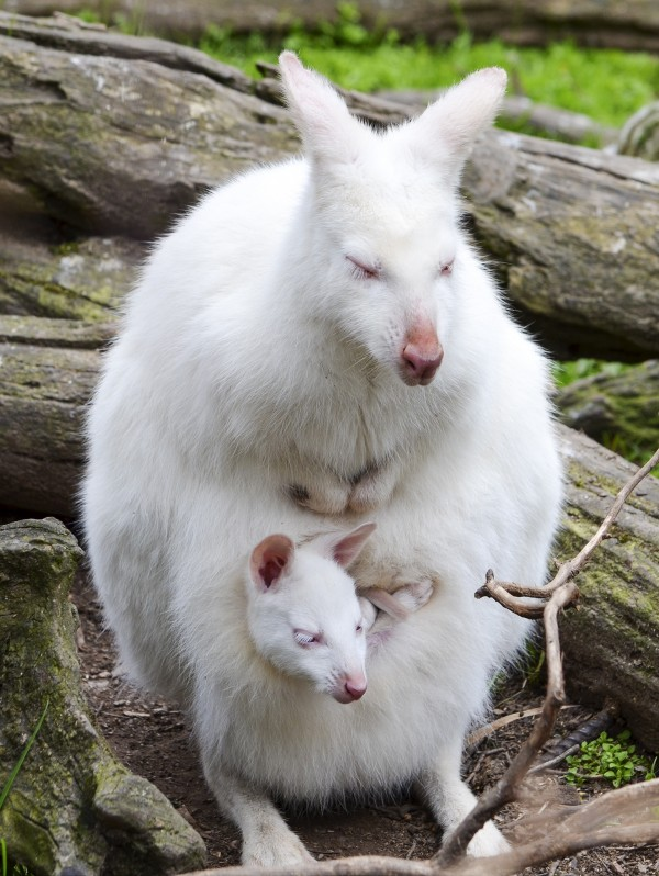 rare_white_animals_27