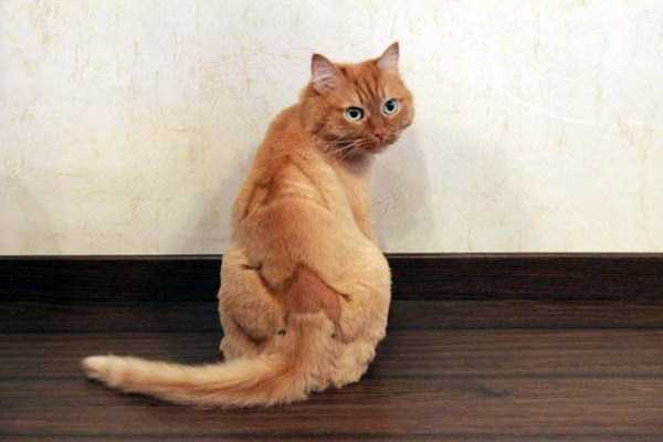 shaved-cats-11