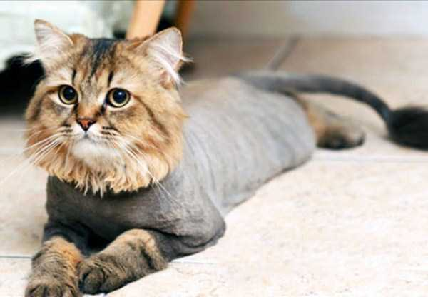 shaved-cats-3