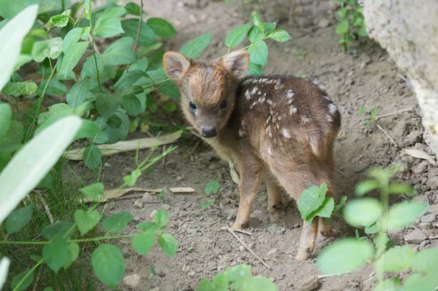smallest-baby-deer-fawn-pudu-queens-zoo-2