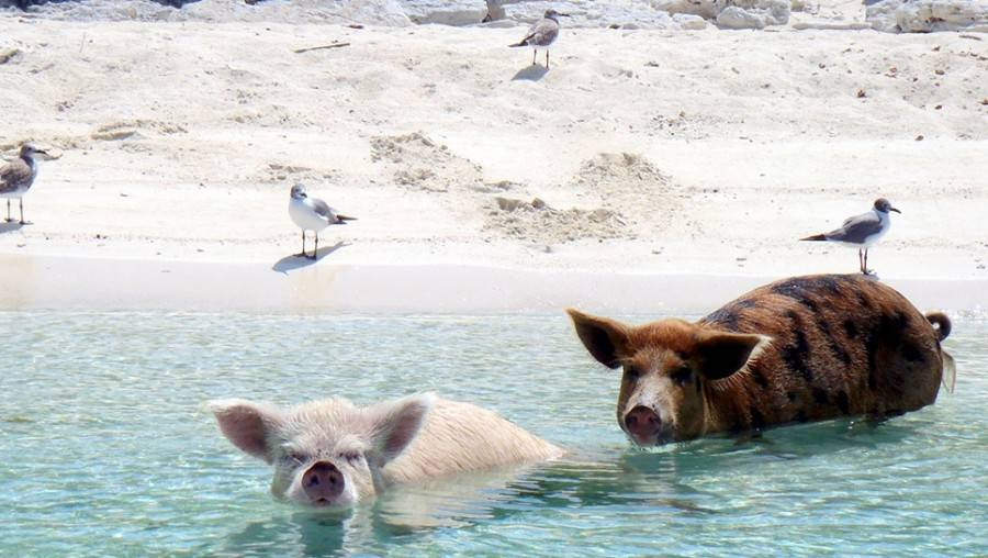 2 pigs swimming near the beach on Pig Island