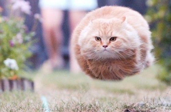 the flying cat  funny cat pics