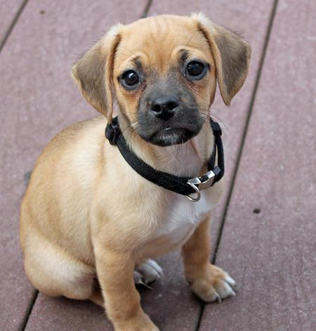 tucker-the-puggle-6_57524_2011-04-12_w450