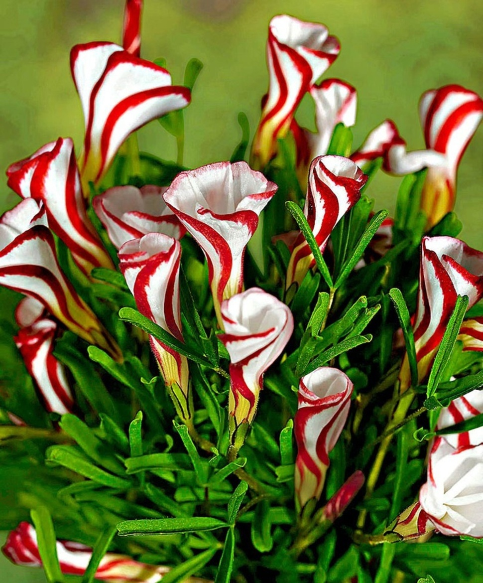 Beautiful exotic flowers that look like theyre from another world candy cane sorrel looks exactly like the sweet treat izmirmasajfo