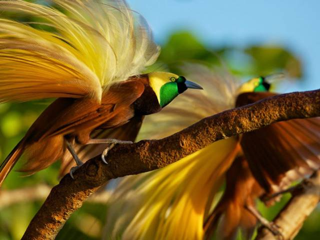 Cendrawasih - The Bird of Paradise - Bali Safari Marine Park