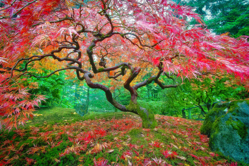 Beautiful Anese Maple In Portland Oregon Amazing Trees 21 Share This