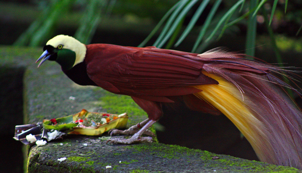 The-Bali-Bird-of-Paradise