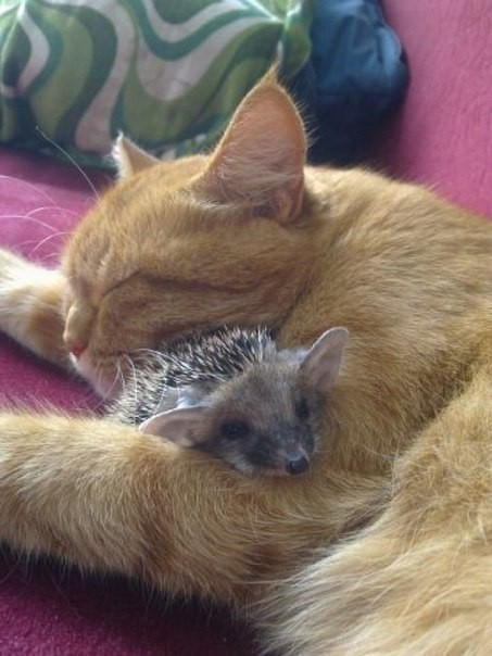 No one startle the hedgehog...that wouldn't end well for this sleepy kitty.