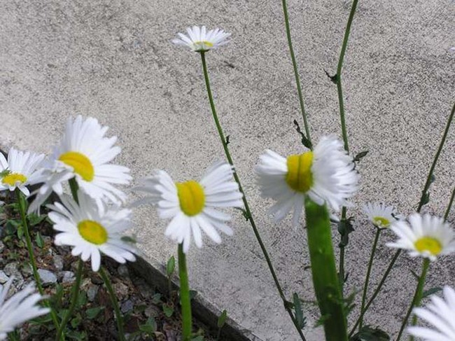 Take these wild daises growing in Nasushiobara City, for instance.