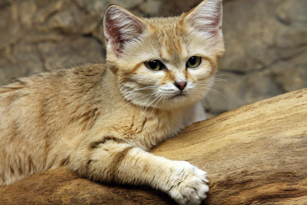 the magnificent beauty of the sand dune cat wow amazing
