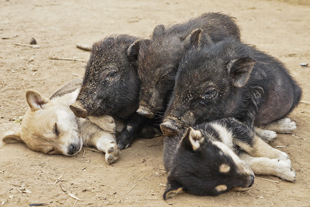 Saw This Young Pigs Cuddling With Puppies In A Remote Hilltribe Village In Laos