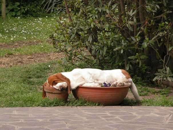 Basset Hound Sleeping In Flower Pots. Part Dog, Part Gravy