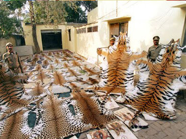 tiger-poaching