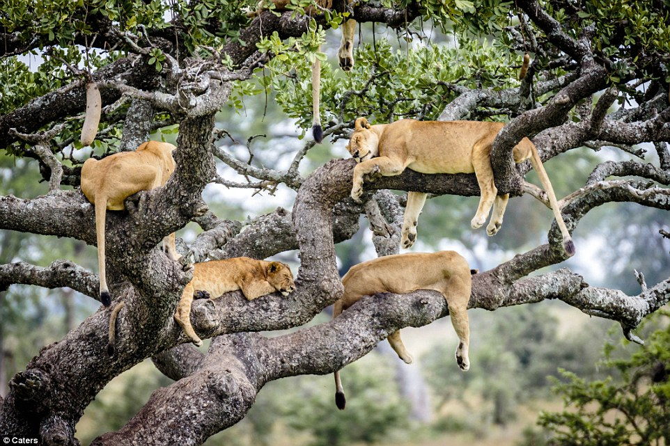 Just dreaming the days away: The lionesses take some time out from hunting and washing to catch a nap high up in the air