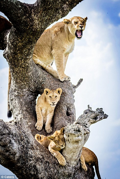 Whatever space is free on the busy tree seems to be comfortable enough for these lions
