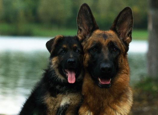 Love the German Shepherd Dog since I was a kid..can't live without them