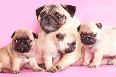 Pug family portrait