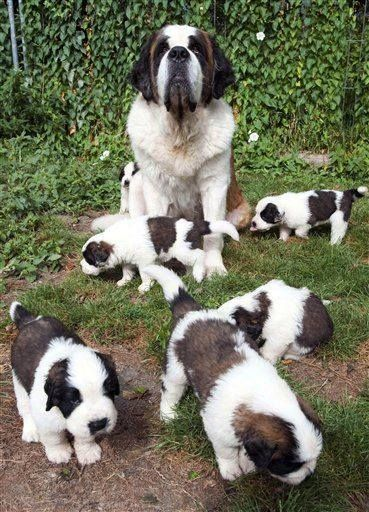 St. Bernard Mom and her Puppies - Precious!!!!
