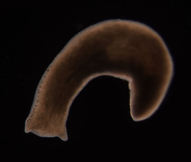 The Planarian flatworm remembers.