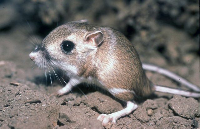 Kangaroo rats can go without water.