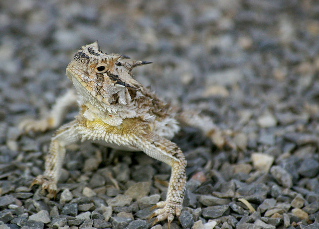 Horned lizards have a freaky attack.