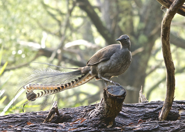 Lyrebirds can imitate just about anything.