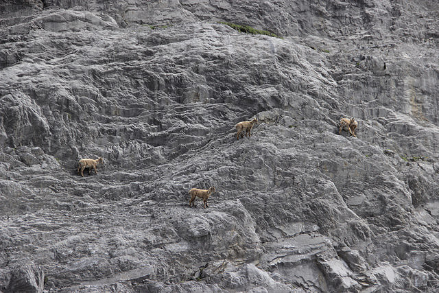Alpine ibex can walk up hills.
