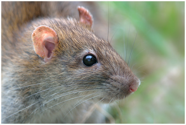 Rats can smell ionizing radiation.