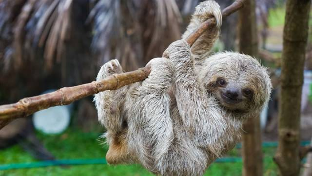 Everything You Need to Know About Owning a Pet Sloth