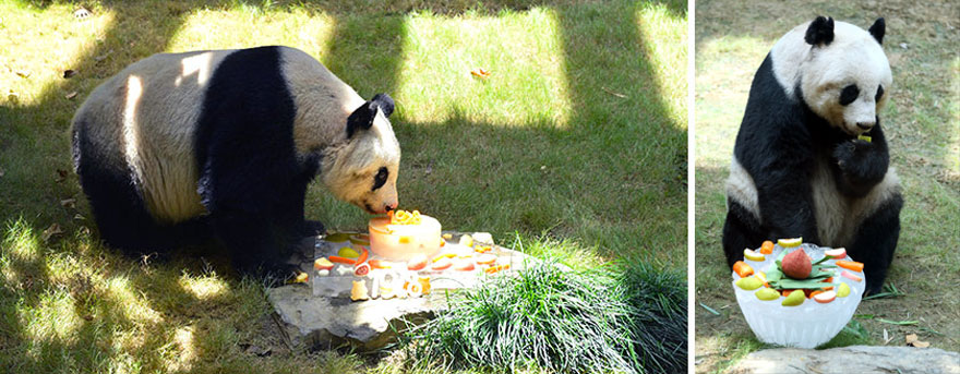 worlds-oldest-panda-celebrates-37th-birthday-and-sets-guinness-world-record-10