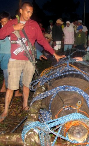 In this photo taken Sunday, Sept. 4, 2011, a Philippine National Police officer stands next  a giant  saltwater crocodile which was captured by residents and crocodile farm staff along a creek in Bunawan township, Agusan Del Sur province in southern Philippines late Saturday. Mayor Cox Elorde of Bunawan said that dozens of villagers and experts ensnared the 21-foot (6.4-meter) male crocodile along a creek in his township after a three-week hunt. It was one of the largest crocodiles to be captured alive in the Philippines in recent years. (AP Photo)