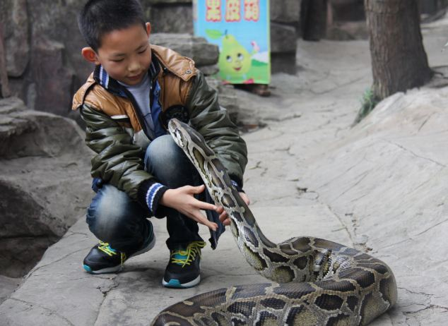 "DONGGUAN, CNINA -  (CHINA OUT)  Living With Python For 12 Years People touch Bingzhe's pet black python at a park in Dongguan, Guangdong Province of China. The man said his family has cared for the black python for 19 years since it was just an egg. Now, it has grown to 4-meters long and weighs nearly 100 kilograms. The albino Burmese Python has been a family pet for about 10 years. Due to Guangdong's warm weather, the owner said the snakes don't need to hibernate. ""We treat them like human beings, so we often talk to them, take them out and even travel with them,"" said the father. The man claims the two non-venomous constrictors are very tame and mild and have never attacked humans. His son, 13, even sleeps next to his pet snake.  ©Exclusivepix"