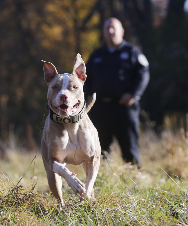 Equal opportunity: Kiah was given to the department at no cost thanks to a partnership between Croft's company, San Antonio-based Universal K9, an Austin animal shelter and Animal Farm Foundation, a nonprofit based in New York's Dutchess County that works to ensure 'equal treatment and opportunity' for pit bulls.