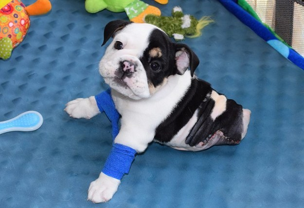 This sweet little bundle of cuteness is Bonsai. He's a rescue English bulldog from Arkansas and was born on April 17.